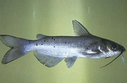 CHANNEL-CATFISH